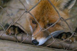 lis 300x200 - Piątka dla zwierząt – podziały i kontrowersje